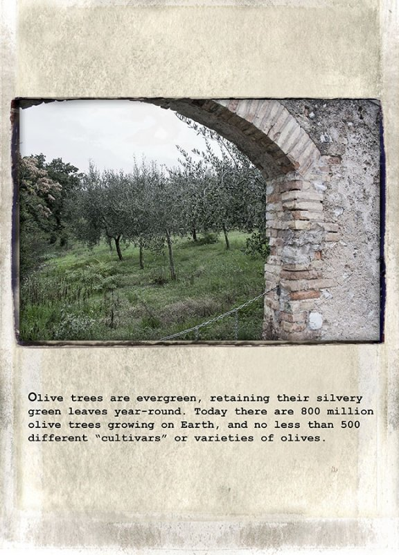 04 Olive trees are evergreen