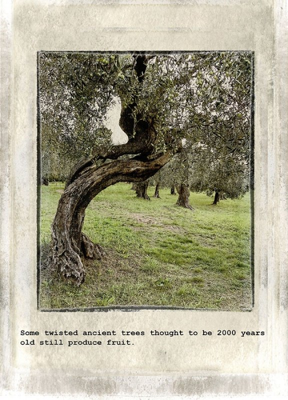 05 Ancient twisted trees