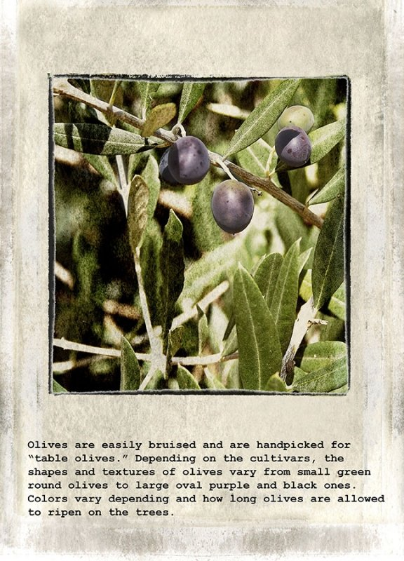 06 Olives are easily bruised